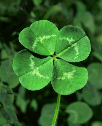 four-leaf-clover image